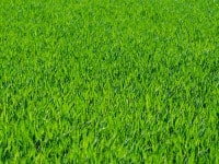 Posekaný udržovaný trávník